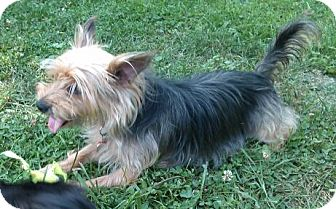 Yorkie, Yorkshire Terrier Dog for adoption in Greensboro, Maryland - Jessie