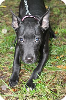 Labrador Retriever/Bull Terrier Mix Puppy for adoption in Waldorf, Maryland - Lark
