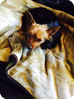 Yorkie, Yorkshire Terrier/Silky Terrier Mix Dog for adoption in Corona, California - Marmalade, Precious Yorkie