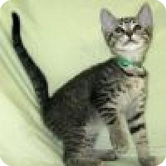 Domestic Shorthair Cat for adoption in Powell, Ohio - Ollie