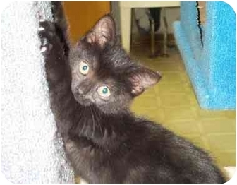 Domestic Shorthair Kitten for adoption in Port Hope, Ontario - Ametrine