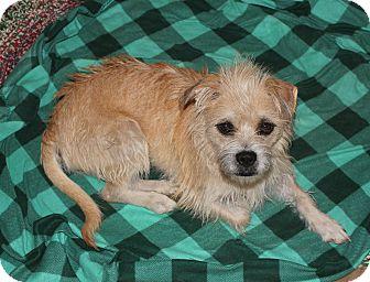 Border Terrier/Boxer Mix Dog for adoption in Ridgecrest, California - Betsy