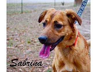 Golden Retriever Mix Puppy for adoption in Daleville, Alabama - Sabrina