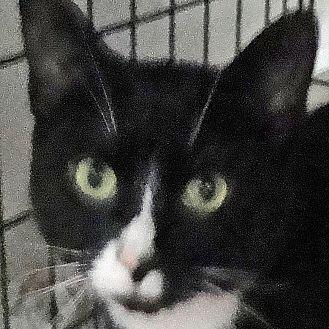 Domestic Shorthair Cat for adoption in St. Johnsville, New York - Harley