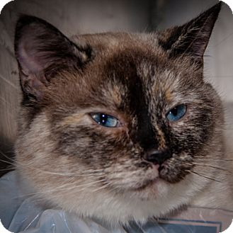 Siamese Cat for adoption in Martinsville, Indiana - Gypsy