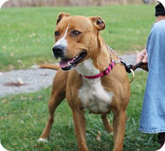 American Pit Bull Terrier Mix Dog for adoption in Elyria, Ohio - Princess-Prison Graduate