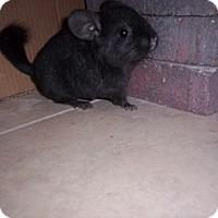 Adopt A Pet :: Kit - Avondale, LA