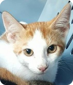 Domestic Shorthair Kitten for adoption in McHenry, Illinois - Earl