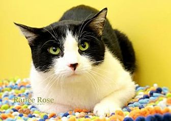 Domestic Shorthair Cat for adoption in Sterling Heights, Michigan - Leo