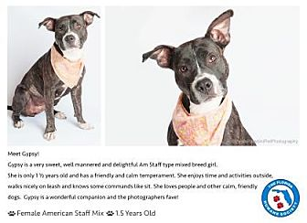 American Staffordshire Terrier Mix Dog for adoption in Pompano Beach, Florida - Gypsy