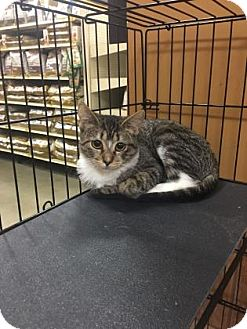 Domestic Shorthair Kitten for adoption in Plymouth Meeting, Pennsylvania - Timon