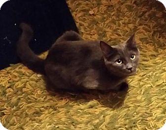 Russian Blue Cat for adoption in Corona, California - Teddy Bear