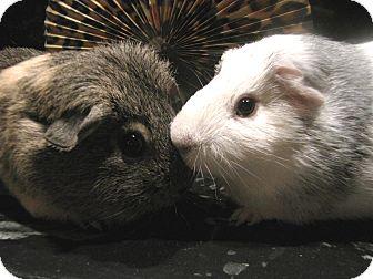 Guinea Pig for adoption in Warren, Michigan - Drew and Duke-Pending