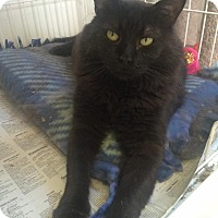 Adopt A Pet :: Magoon-I'm a purr machine - Manchester, NH