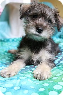 Brussels Griffon/Yorkie, Yorkshire Terrier Mix Puppy for adoption in Bedminster, New Jersey - Magnolia