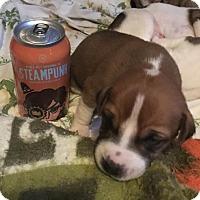 Adopt A Pet :: Steampunk - Dallas, TX