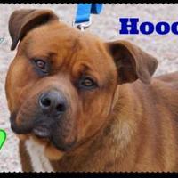 Adopt A Pet :: Hooch- Fee Sponsored - Greenville, NC