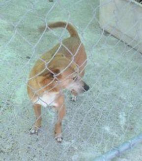 Shiba Inu/Chihuahua Mix Dog for adoption in Corpus Christi, Texas - Walker