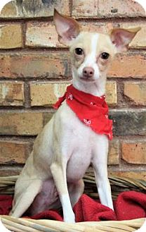Chihuahua Mix Dog for adoption in Benbrook, Texas - Petey