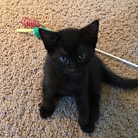 Domestic Shorthair Kitten for adoption in Turnersville, New Jersey - Petunia