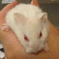 Adopt A Pet :: MARBLES - Van Nuys, CA