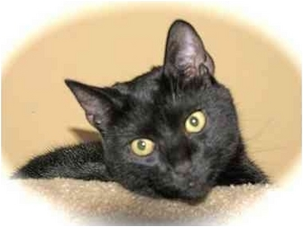 Domestic Shorthair Cat for adoption in Howell, Michigan - Chance