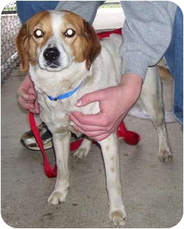 Beagle Mix Dog for adoption in Somerset, Pennsylvania - Molly