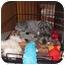 Photo 2 - Schnauzer (Miniature) Dog for adoption in Springfield, Missouri - Doolittle