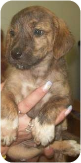Boxer Mix Puppy for adoption in Bel Air, Maryland - Weston