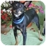 Photo 1 - Miniature Pinscher Dog for adoption in Worcester, Massachusetts - Freckles