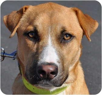 Carolina Dog/Shepherd (Unknown Type) Mix Dog for adoption in Atlanta, Georgia - Cece