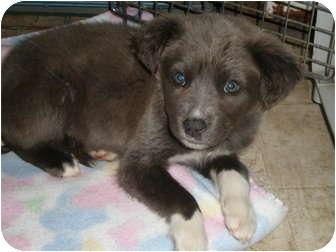 Husky/Weimaraner Mix Puppy for adoption in Franklin, Virginia - Ava