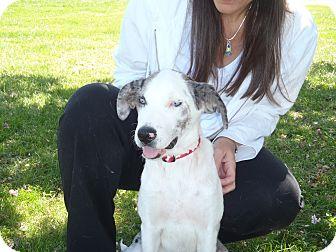 Australian Shepherd/Catahoula Leopard Dog Mix Puppy for adoption in Sagaponack, New York - Bella