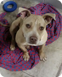 American Pit Bull Terrier Mix Dog for adoption in Spring City, Pennsylvania - Tipsy