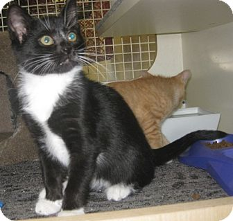 British Shorthair Kitten for adoption in Dallas, Texas - Calliope