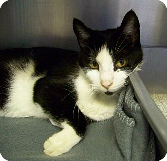 Domestic Shorthair Cat for adoption in Dover, Ohio - Lawrence