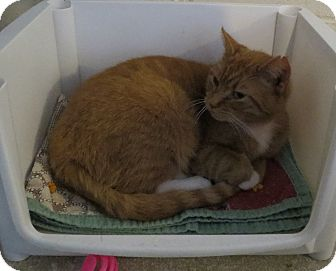 Domestic Shorthair Cat for adoption in Geneseo, Illinois - Edna