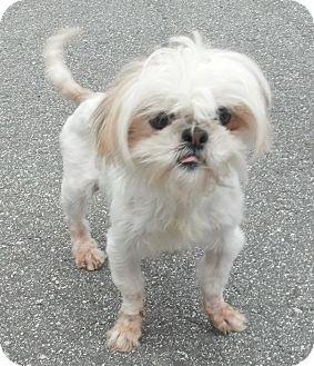 Shih Tzu/Maltese Mix Dog for adoption in Mocksville, North Carolina - Willow