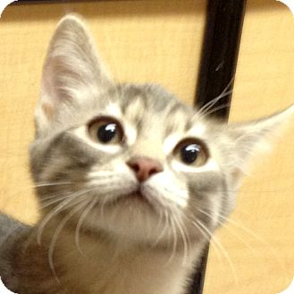 Domestic Shorthair Kitten for adoption in Weatherford, Texas - Miss T