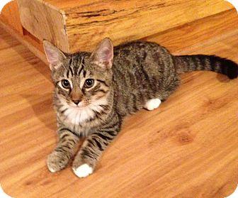 Domestic Shorthair Kitten for adoption in Carlisle, Pennsylvania - Jasper