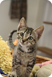 Domestic Shorthair Kitten for adoption in Chattanooga, Tennessee - Hans