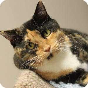Domestic Shorthair Cat for adoption in Naperville, Illinois - Sara