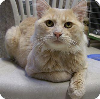 Domestic Longhair Cat for adoption in Grants Pass, Oregon - Simba