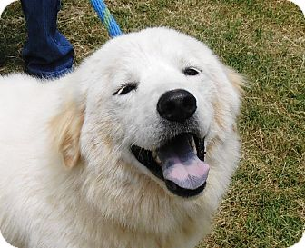 Great Pyrenees Mix Dog for adoption in Centerville, Tennessee - Lilly