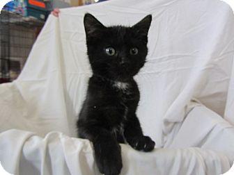 Domestic Mediumhair Kitten for adoption in Ridgway, Colorado - Felix and Felipe