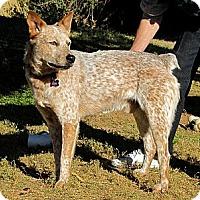 Adopt A Pet :: COCOA - Phoenix, AZ