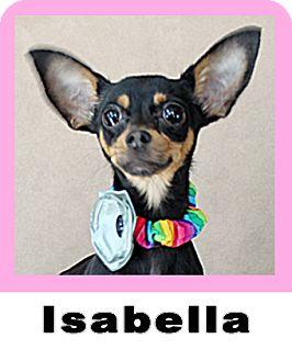 Miniature Pinscher/Chihuahua Mix Puppy for adoption in Wichita Falls, Texas - Isabella