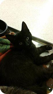 Domestic Shorthair Kitten for adoption in China, Michigan - Blitzen