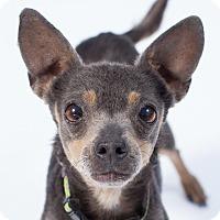 Adopt A Pet :: Shana - Santa Barbara, CA