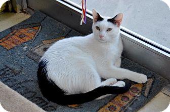 Domestic Shorthair Cat for adoption in Glendale, Arizona - Mickey